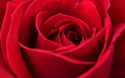 Inilah 3 Bunga Mawar Terpopuler