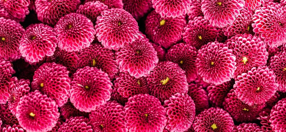 Bunga Herbal Salvia yang bermanfaat